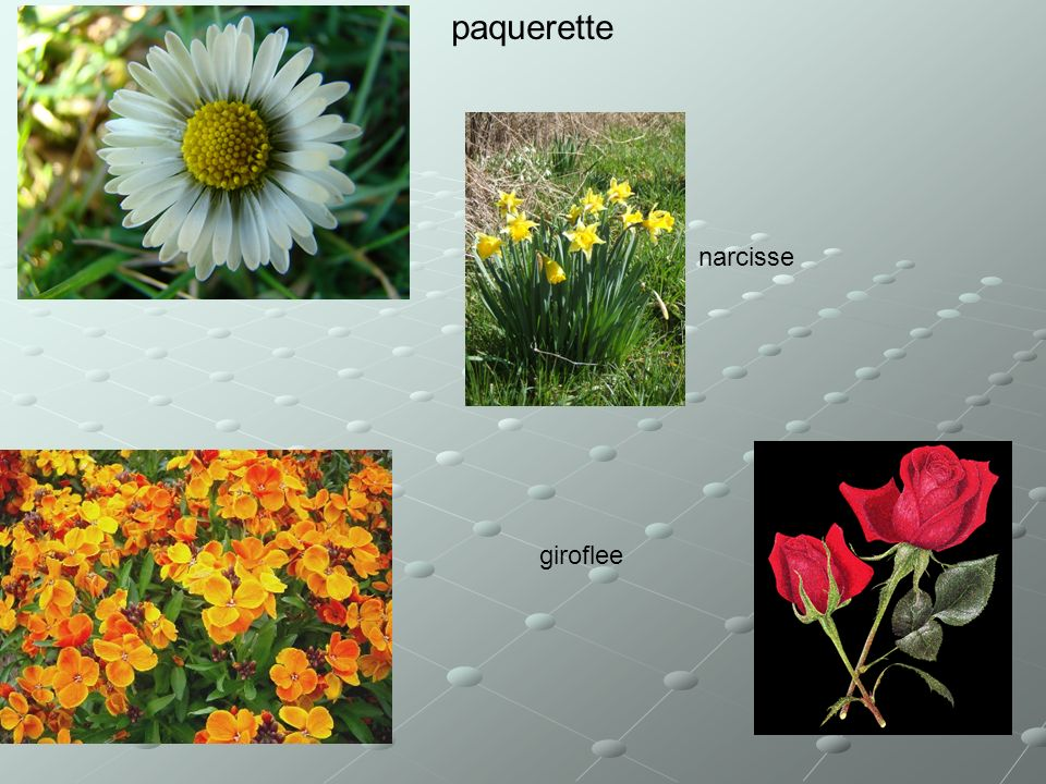 paquerette narcisse giroflee