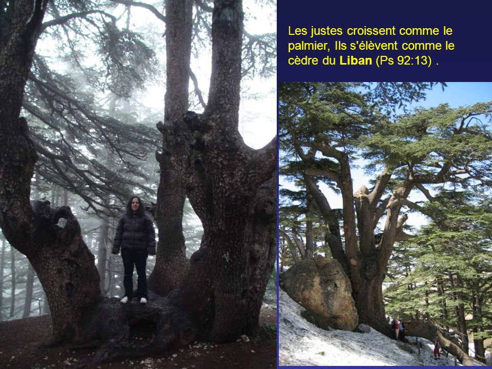 Les justes croissent comme le palmier, Ils s élèvent comme le cèdre du Liban (Ps 92:13) .
