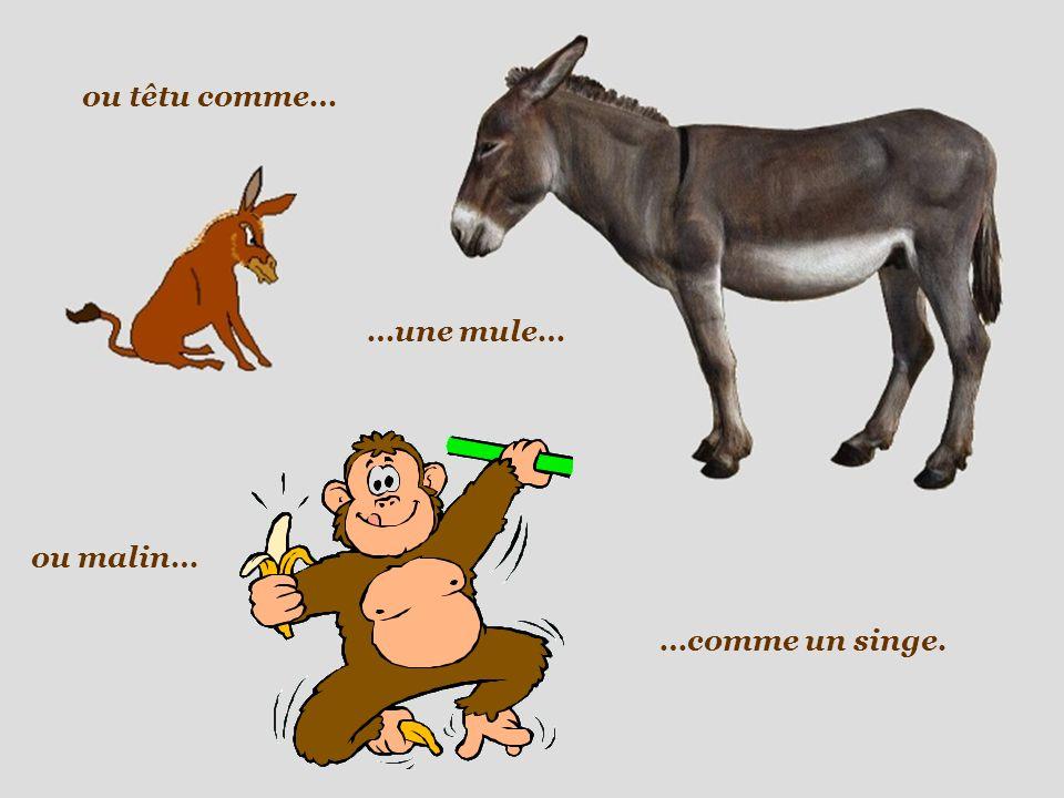 ou têtu comme… …une mule… ou malin… …comme un singe.
