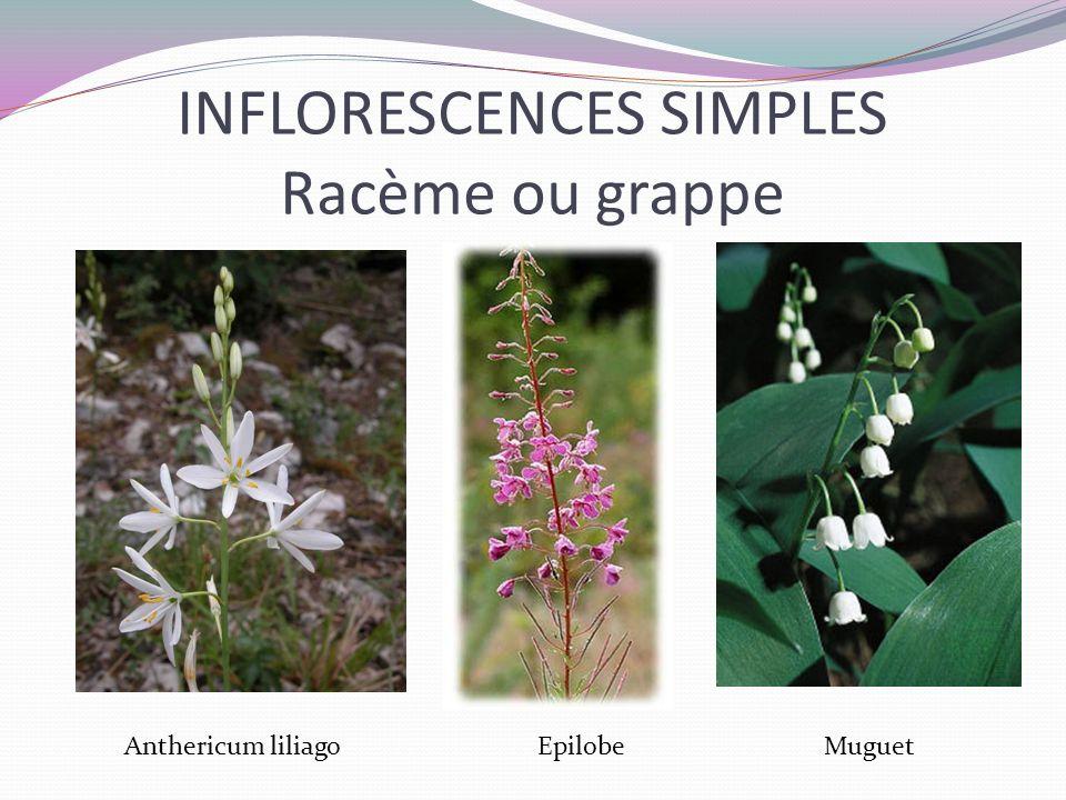 INFLORESCENCES SIMPLES Racème ou grappe