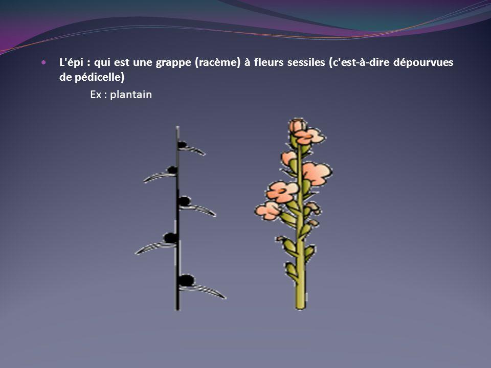 L épi : qui est une grappe (racème) à fleurs sessiles (c est-à-dire dépourvues de pédicelle)