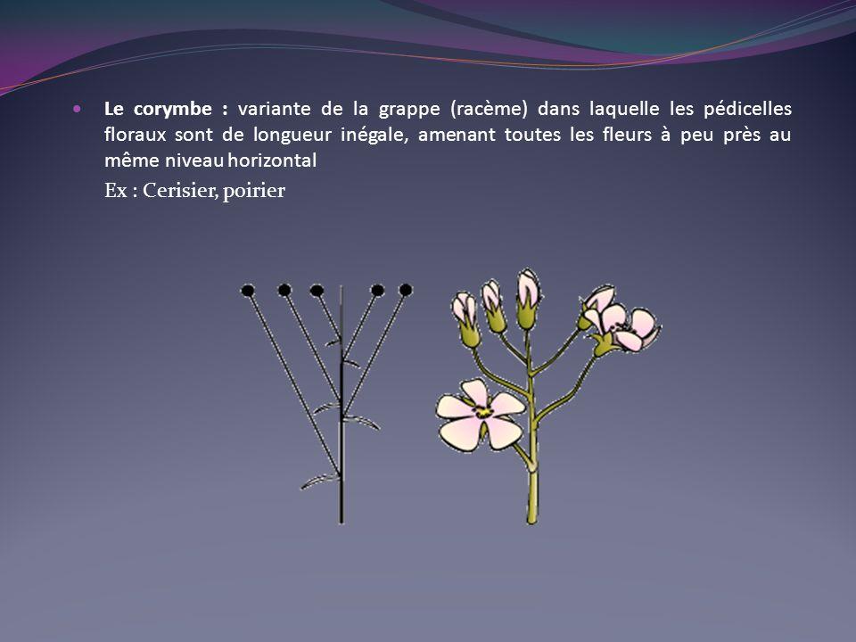 Le corymbe : variante de la grappe (racème) dans laquelle les pédicelles floraux sont de longueur inégale, amenant toutes les fleurs à peu près au même niveau horizontal