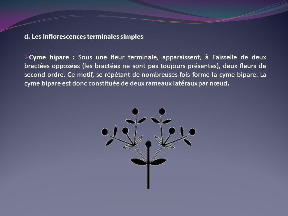 d. Les inflorescences terminales simples
