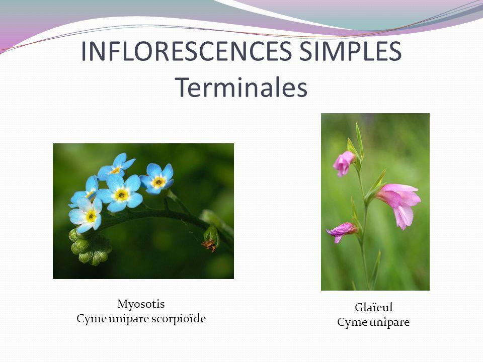 INFLORESCENCES SIMPLES Terminales