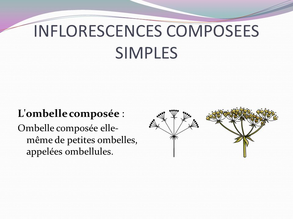 INFLORESCENCES COMPOSEES SIMPLES