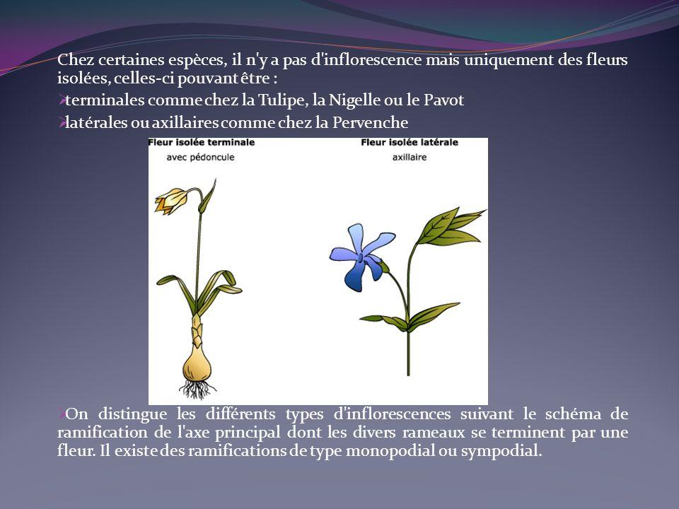 Chez certaines espèces, il n y a pas d inflorescence mais uniquement des fleurs isolées, celles-ci pouvant être :