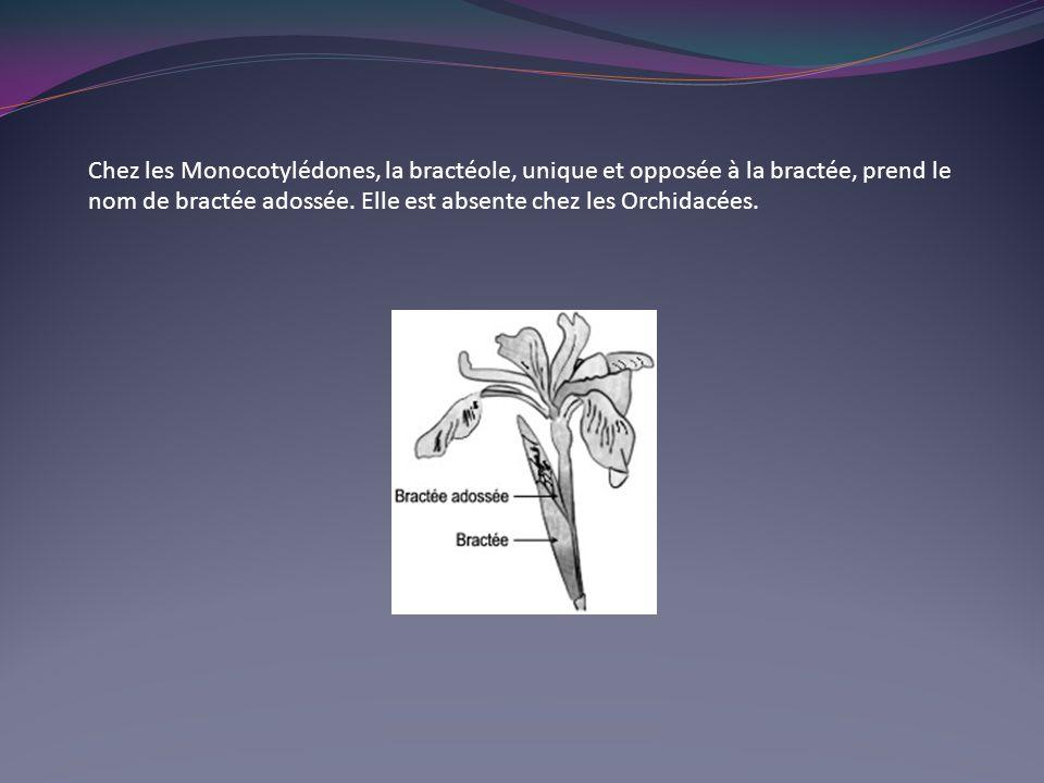 Chez les Monocotylédones, la bractéole, unique et opposée à la bractée, prend le nom de bractée adossée.