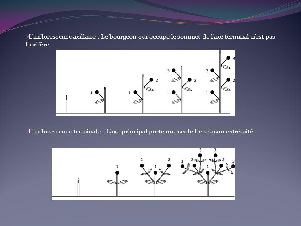 L'inflorescence axillaire : Le bourgeon qui occupe le sommet de l'axe terminal n'est pas florifère
