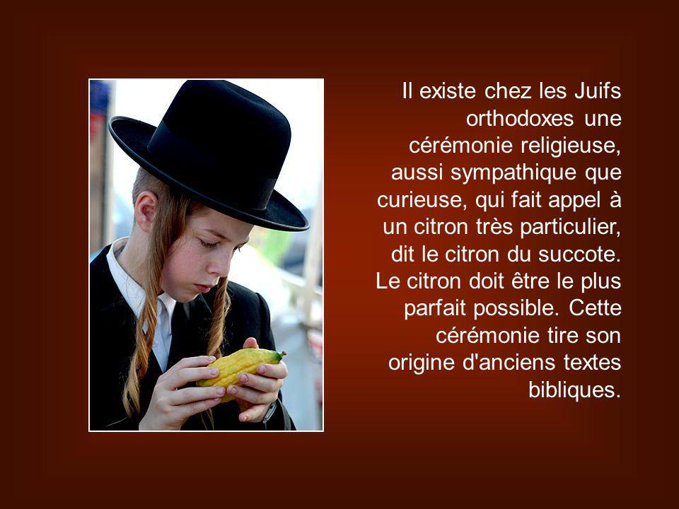Il existe chez les Juifs orthodoxes une cérémonie religieuse, aussi sympathique que curieuse, qui fait appel à un citron très particulier, dit le citron du succote.