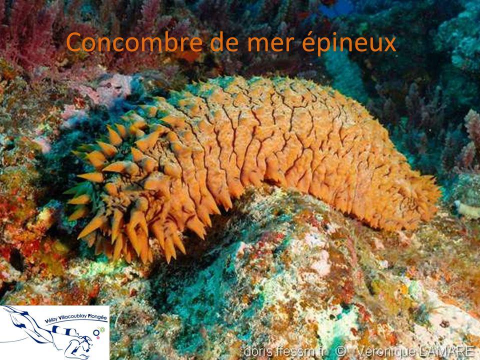 Concombre de mer épineux