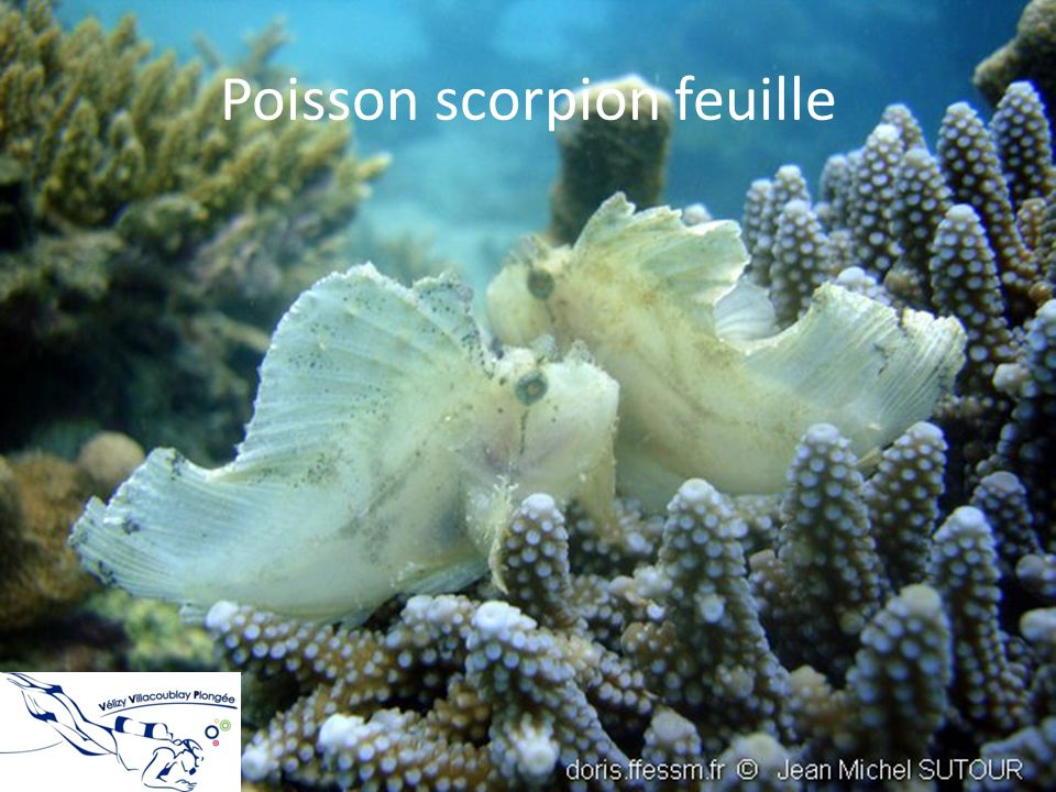 Poisson scorpion feuille