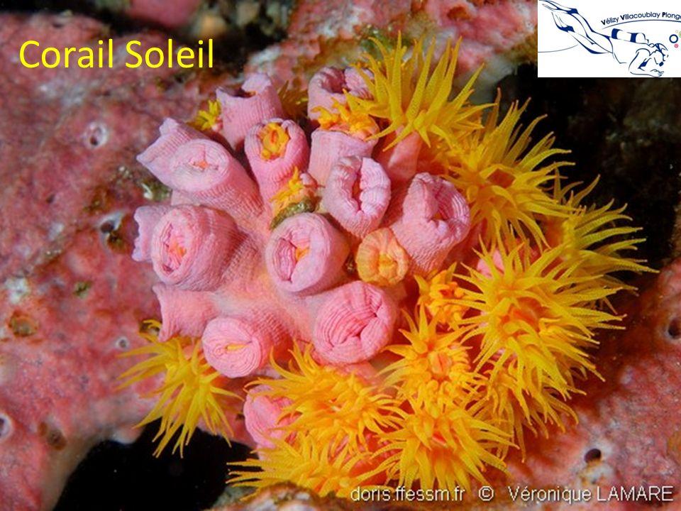 Corail Soleil