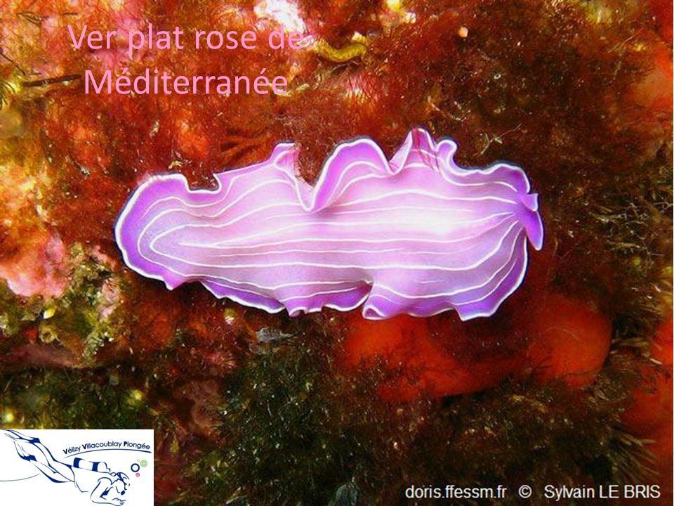 Ver plat rose de Méditerranée