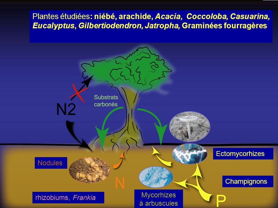 Plantes étudiées: niébé, arachide, Acacia, Coccoloba, Casuarina, Eucalyptus, Gilbertiodendron, Jatropha, Graminées fourragères