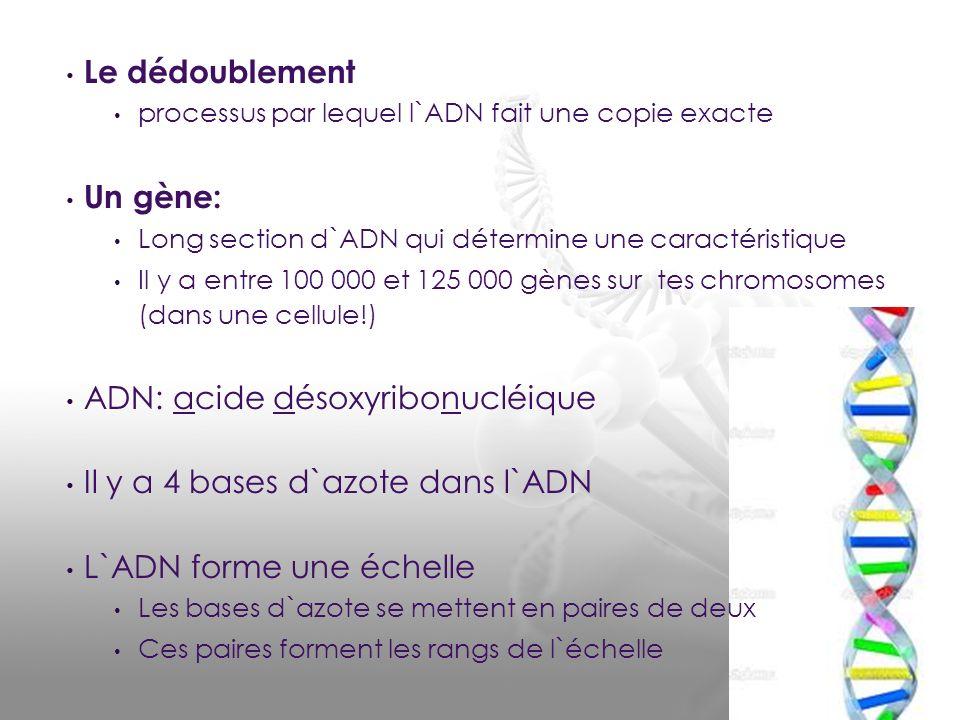 ADN: acide désoxyribonucléique Il y a 4 bases d`azote dans l`ADN