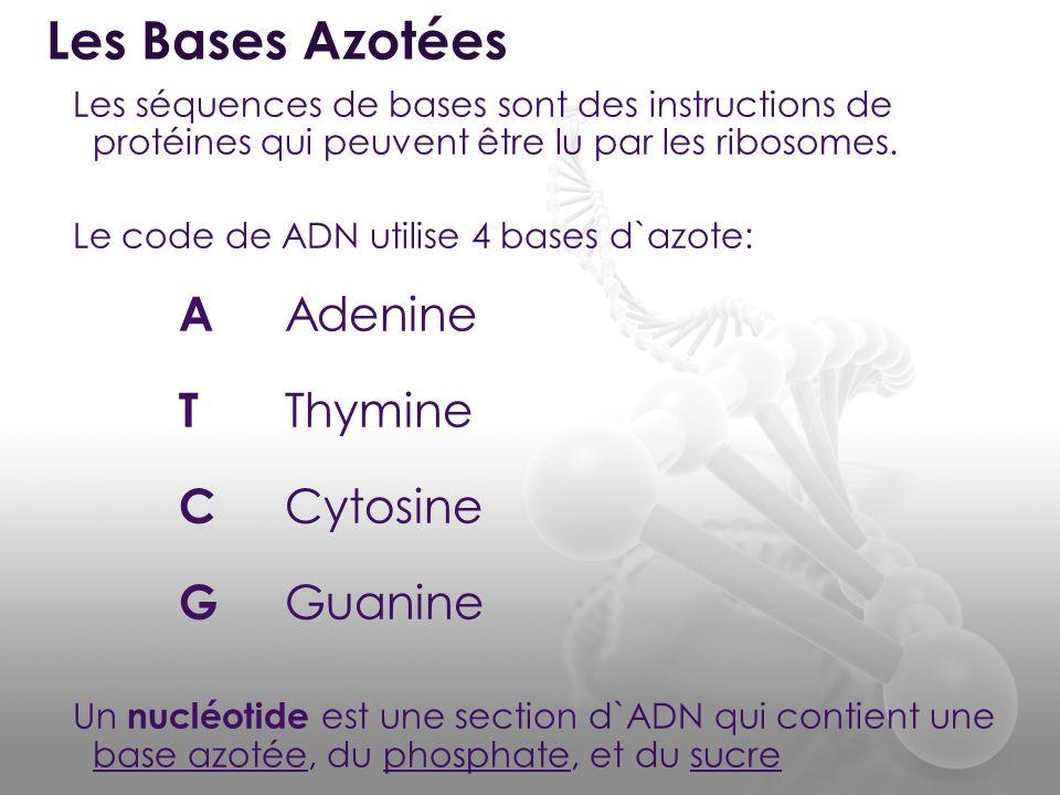 Les Bases Azotées A Adenine T Thymine C Cytosine G Guanine