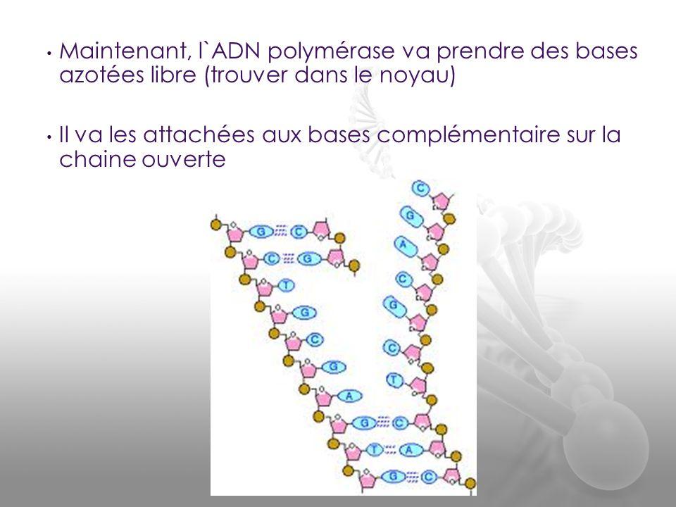 Maintenant, l`ADN polymérase va prendre des bases azotées libre (trouver dans le noyau)