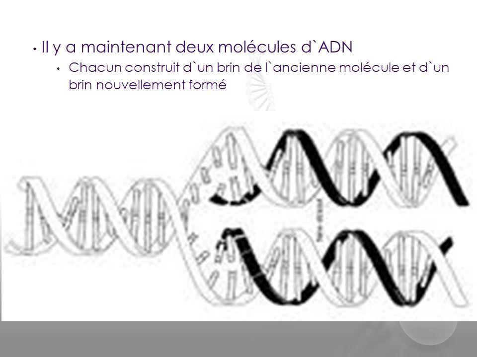 Il y a maintenant deux molécules d`ADN