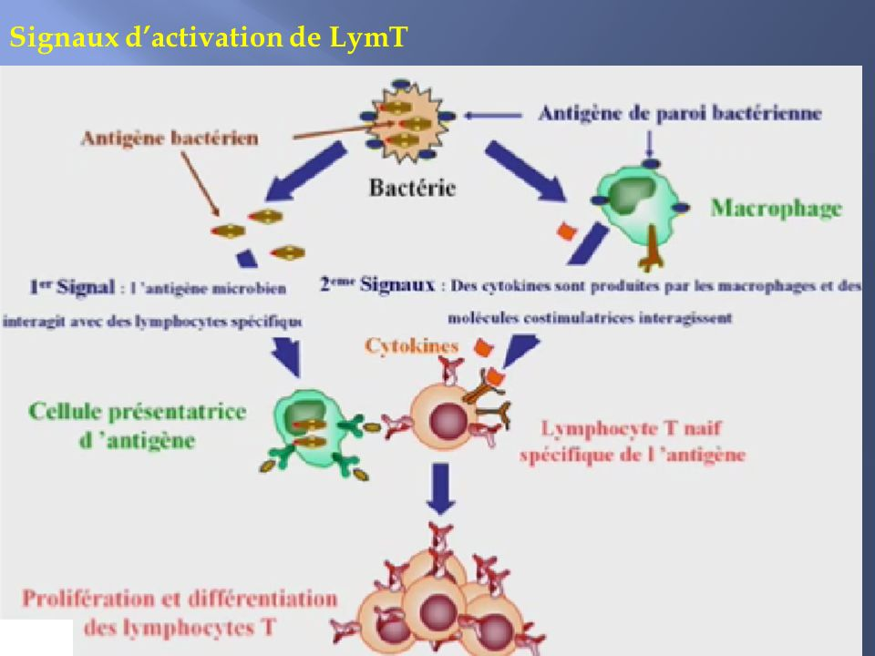 Signaux d'activation de LymT