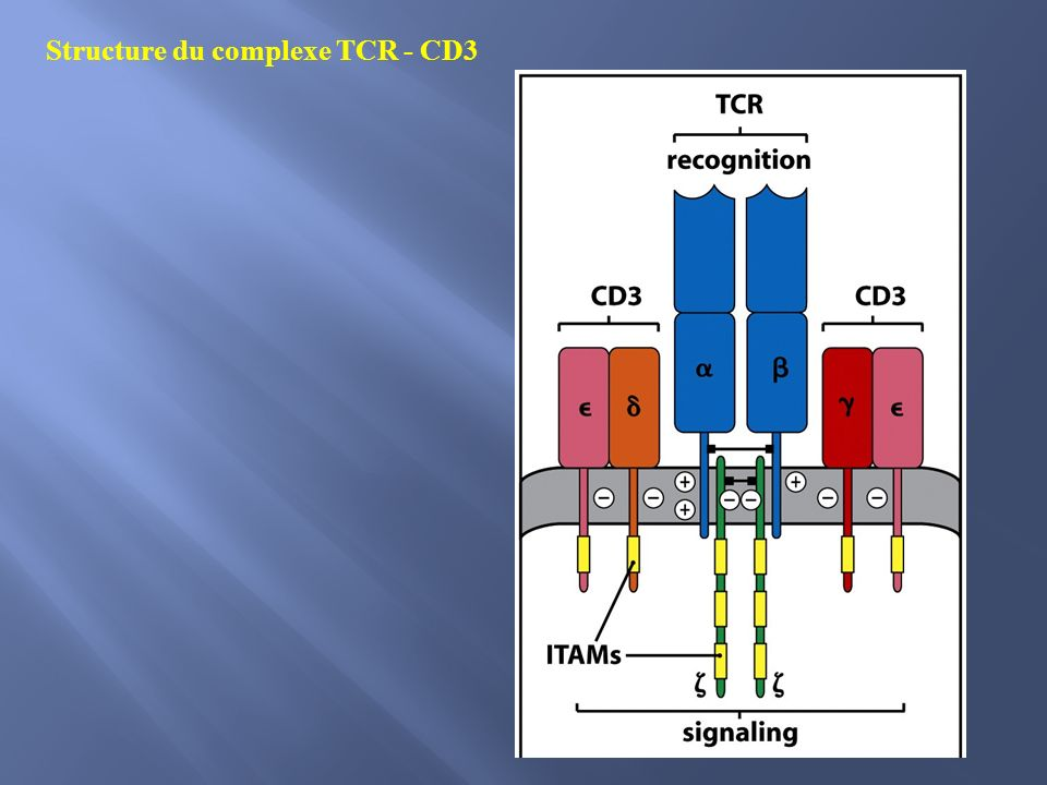 Structure du complexe TCR - CD3