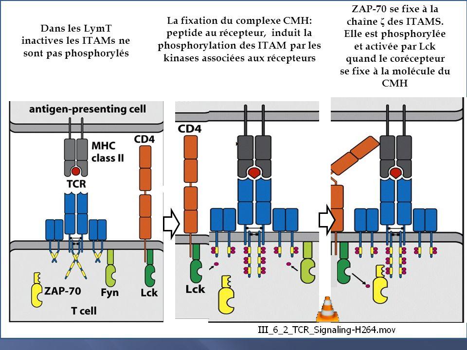 Dans les LymT inactives les ITAMs ne sont pas phosphorylés
