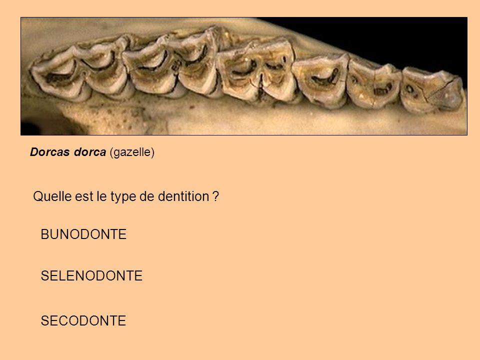 Quelle est le type de dentition