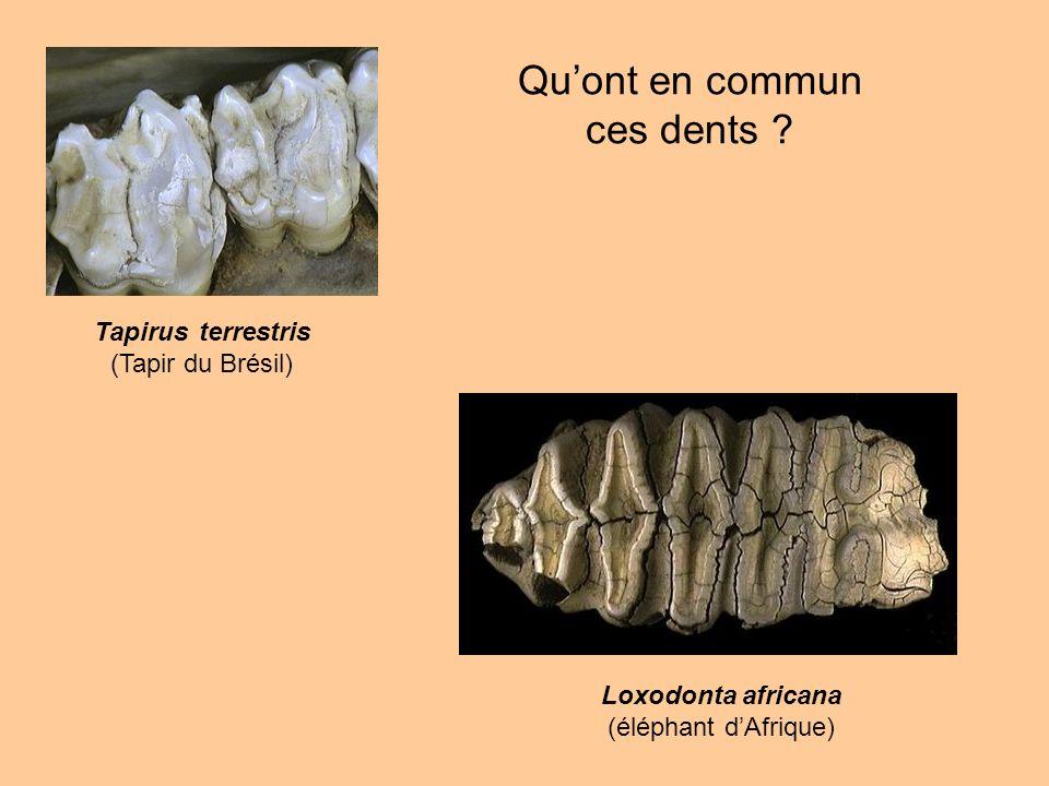 Qu'ont en commun ces dents Tapirus terrestris (Tapir du Brésil)