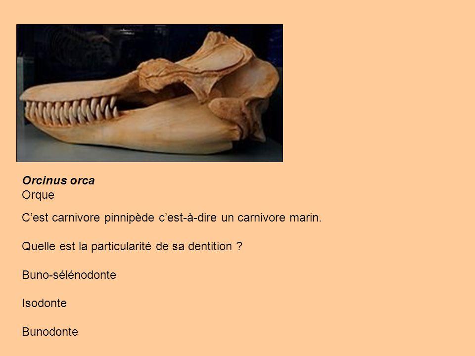 Orcinus orca Orque. C'est carnivore pinnipède c'est-à-dire un carnivore marin. Quelle est la particularité de sa dentition