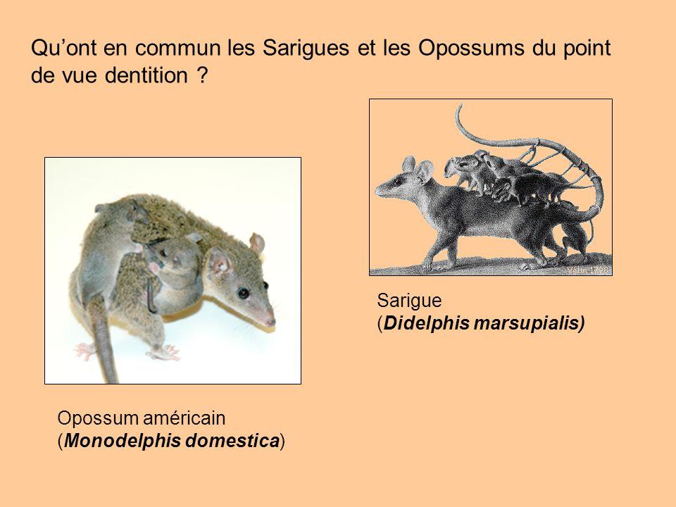 Qu'ont en commun les Sarigues et les Opossums du point