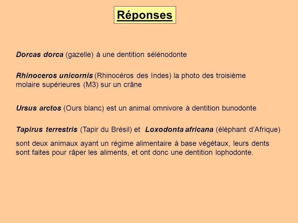 Réponses Dorcas dorca (gazelle) à une dentition sélénodonte