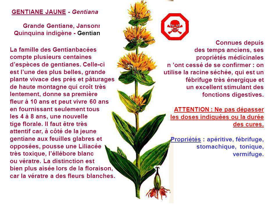 Grande Gentiane, Jansonna, Quinquina indigène - Gentianacées