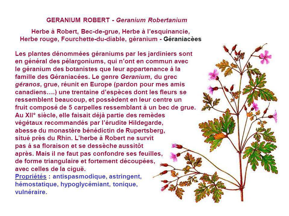 GERANIUM ROBERT - Geranium Robertanium