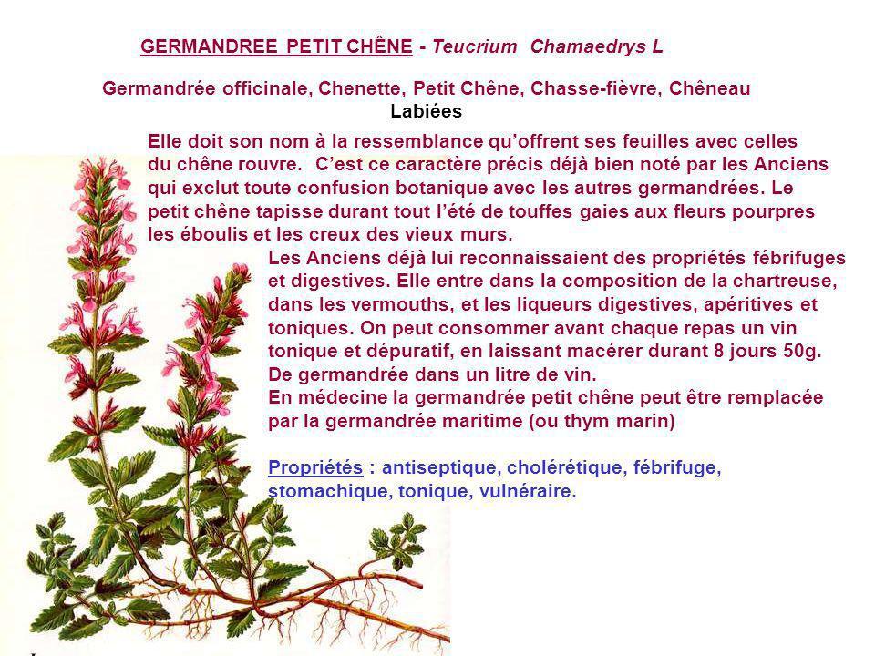 Germandrée officinale, Chenette, Petit Chêne, Chasse-fièvre, Chêneau