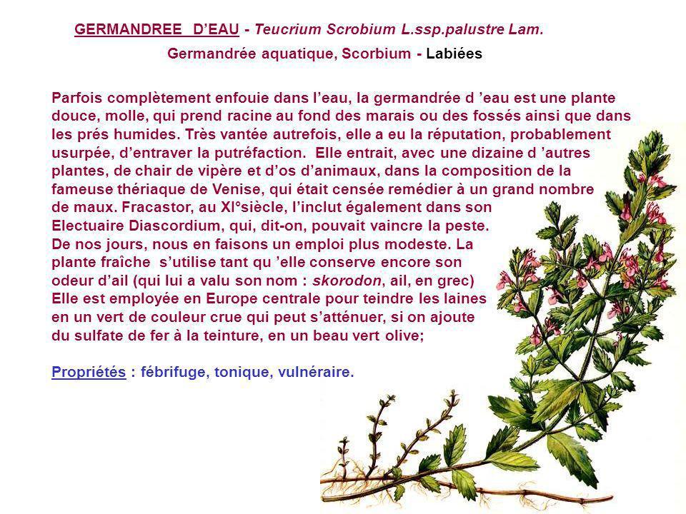 GERMANDREE D'EAU - Teucrium Scrobium L.ssp.palustre Lam.