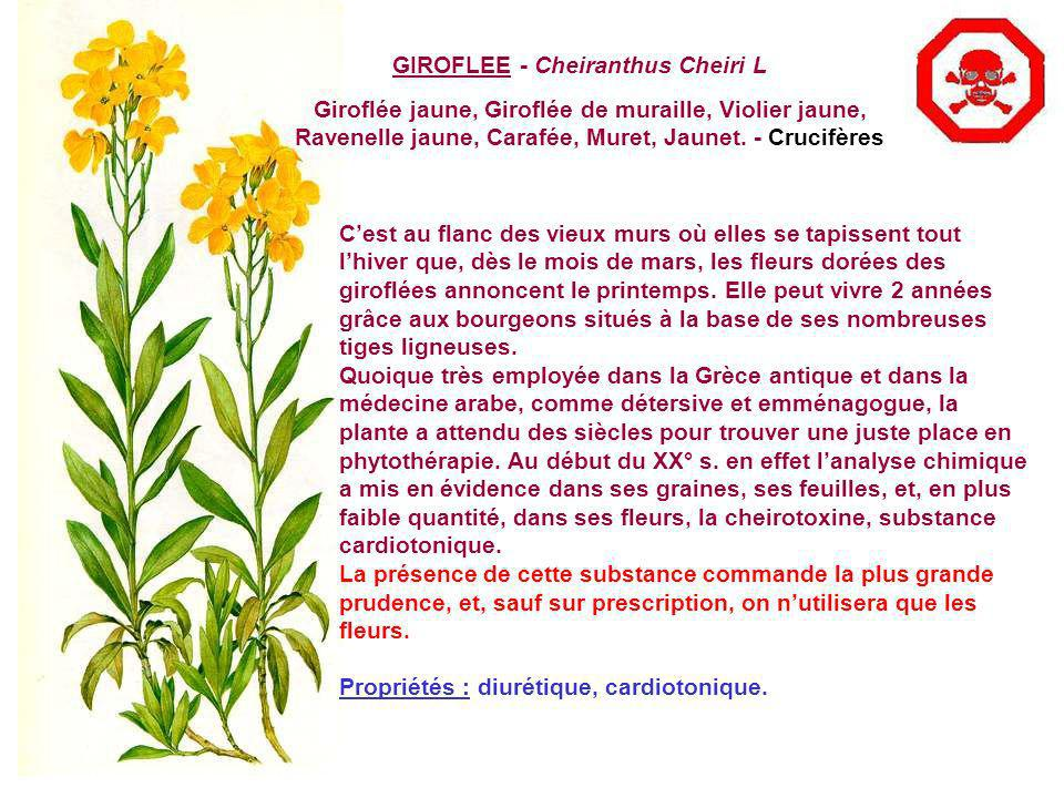 GIROFLEE - Cheiranthus Cheiri L