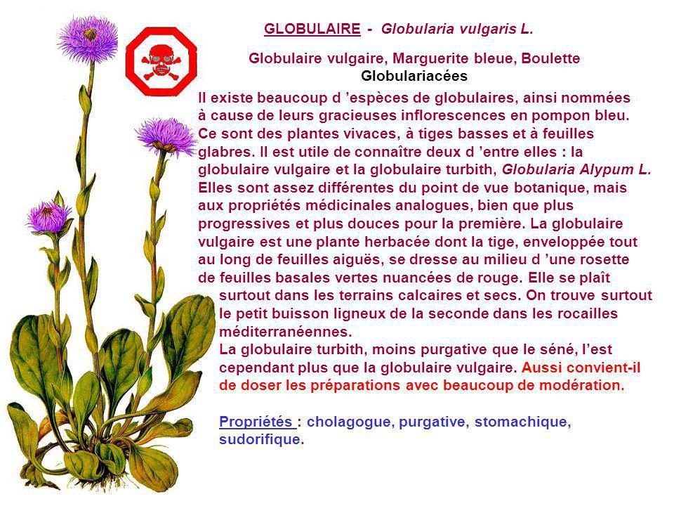Globulaire vulgaire, Marguerite bleue, Boulette