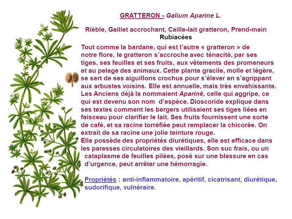 Rièble, Gaillet accrochant, Caille-lait gratteron, Prend-main