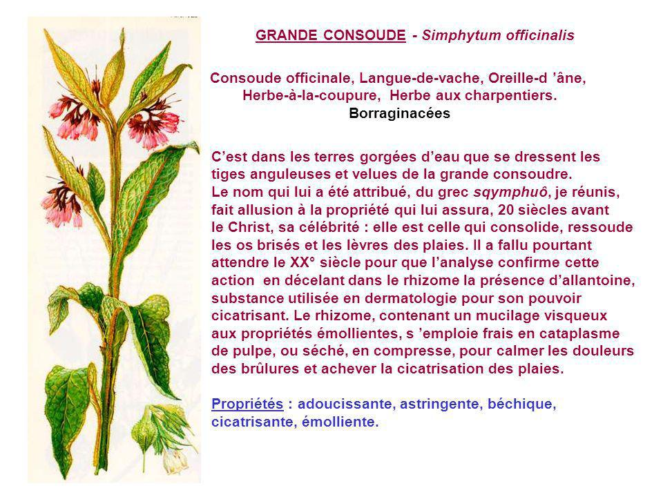 GRANDE CONSOUDE - Simphytum officinalis