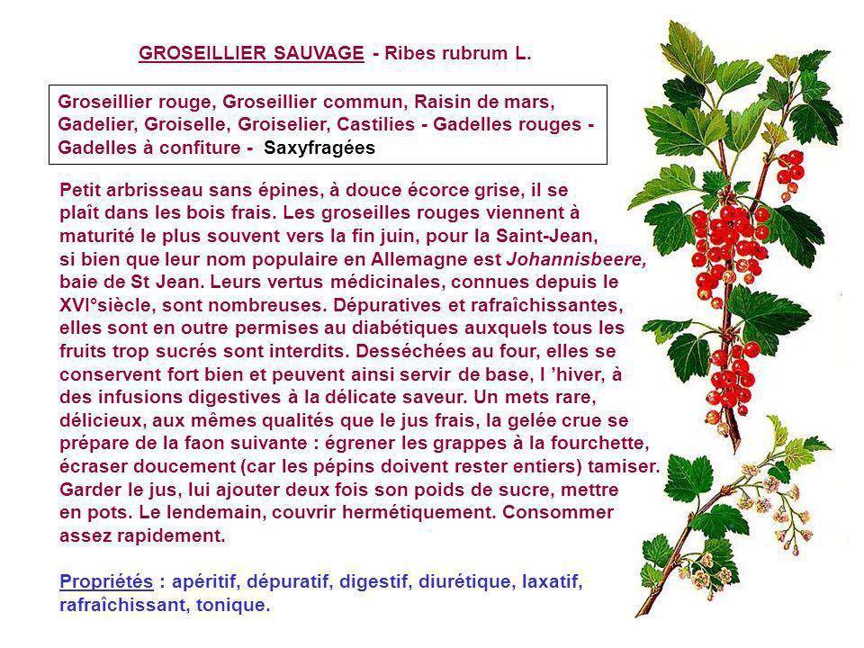 GROSEILLIER SAUVAGE - Ribes rubrum L.