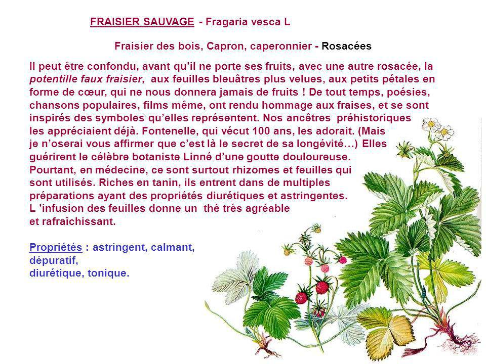 FRAISIER SAUVAGE - Fragaria vesca L