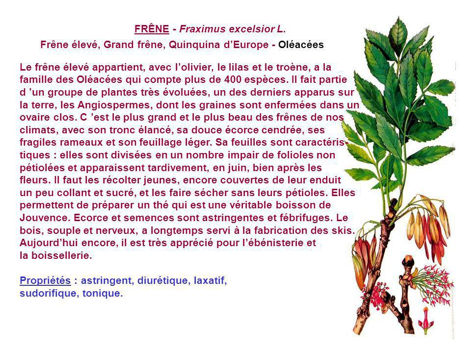 FRÊNE - Fraximus excelsior L.