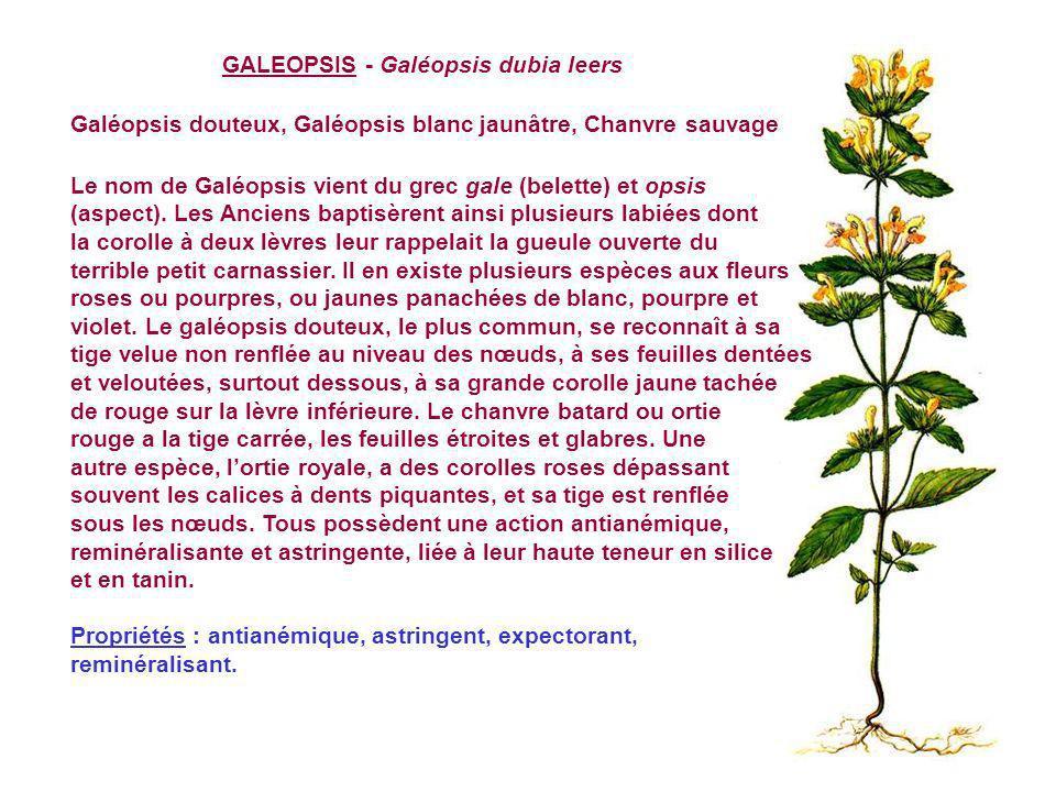 GALEOPSIS - Galéopsis dubia leers