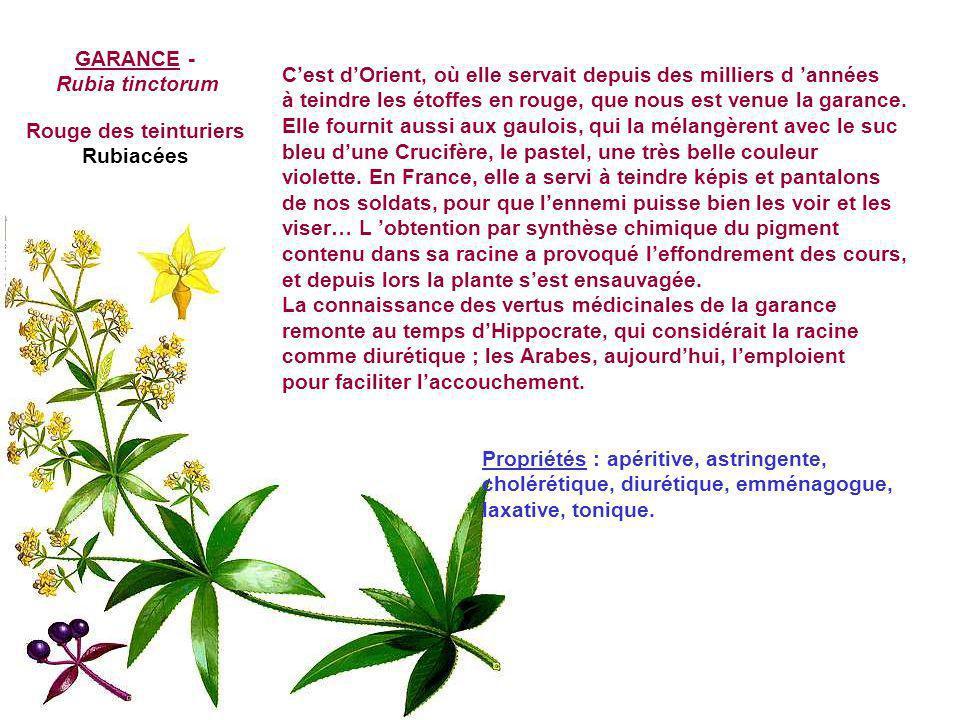 GARANCE - Rubia tinctorum. C'est d'Orient, où elle servait depuis des milliers d 'années.