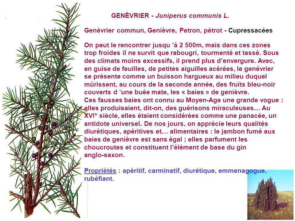 GENÊVRIER - Juniperus communis L.