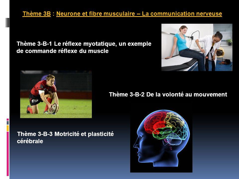 Thème 3B : Neurone et fibre musculaire – La communication nerveuse