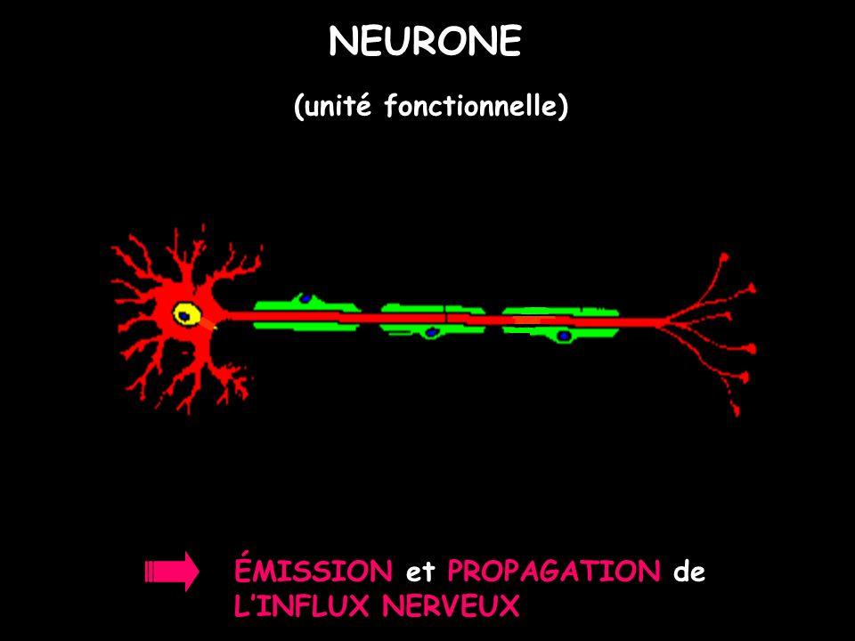 NEURONE (unité fonctionnelle) ÉMISSION et PROPAGATION de