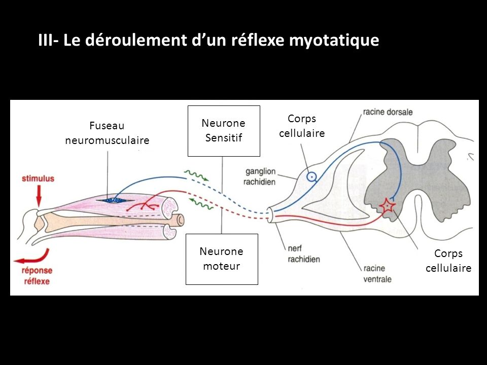 Fuseau neuromusculaire