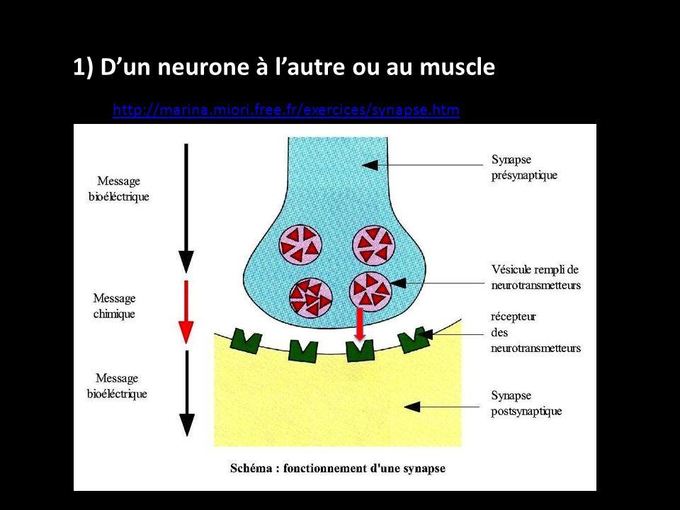 1) D'un neurone à l'autre ou au muscle