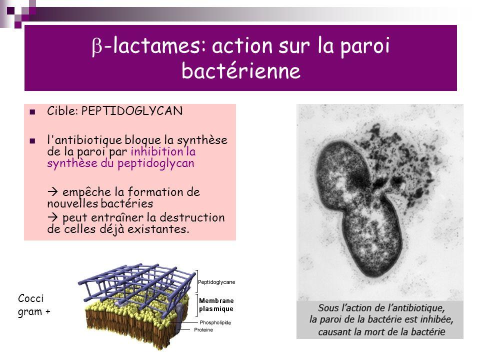 b-lactames: action sur la paroi bactérienne