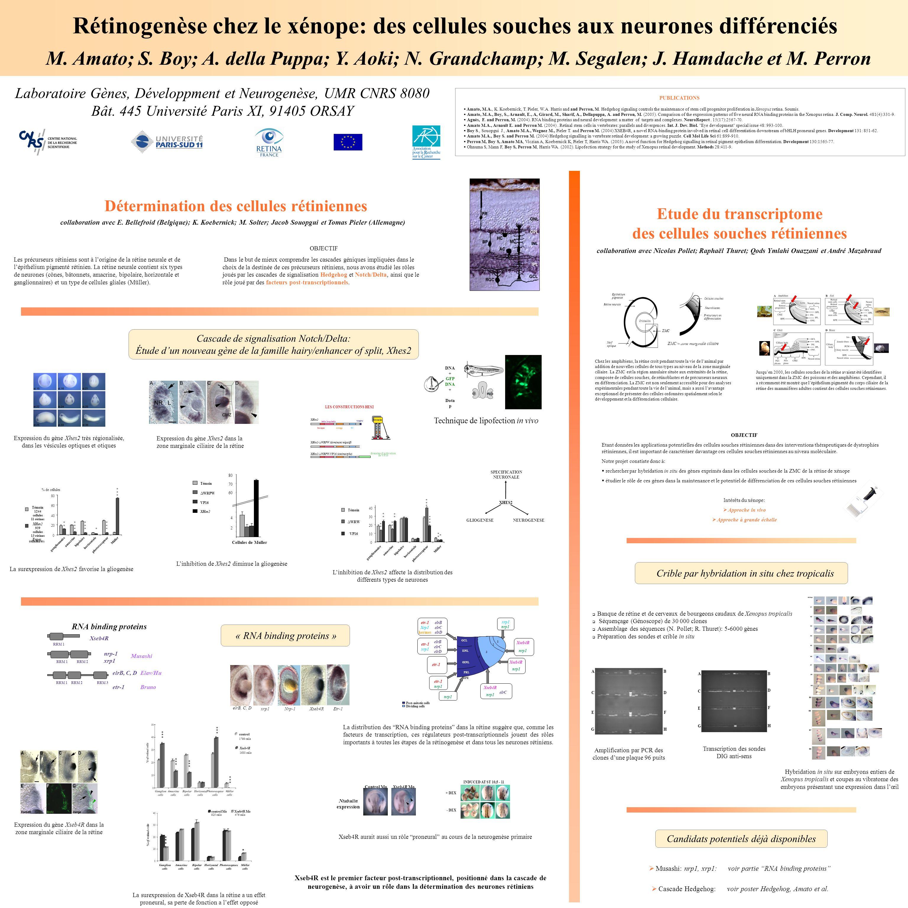 Rétinogenèse chez le xénope: des cellules souches aux neurones différenciés